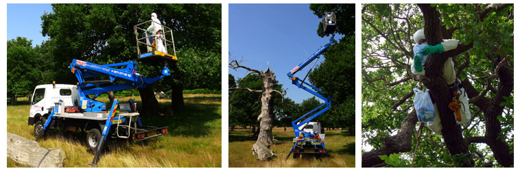 The Tree Company (London) Ltd are working with the Royal Parks and other clients to control the spread of OPM in local London areas